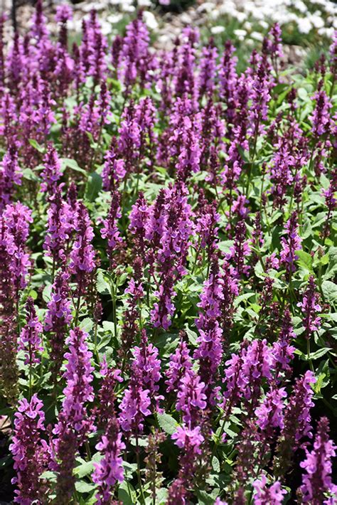 rose marvel meadow sage salvia nemorosa rose marvel