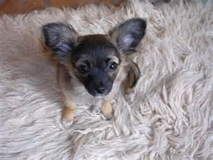 chiweenie puppies for sale in nc chiweenie puppies for sale in pa