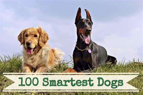 smartest dogs list a list of the 100 smartest breeds pethelpful