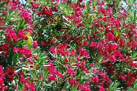 get here common but deadly plants - Poisonous Flowering Shrub