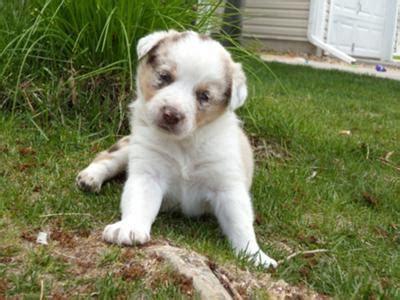 bloodhound puppies for sale craigslist la la la lola