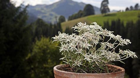 kenalan lebih   bunga edelweis edelweis jawa