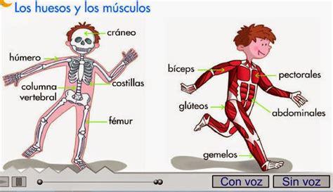 los msculos clave en maestra de primaria nuestro cuerpo huesos articulaciones m 250 sculos y tendones juegos y