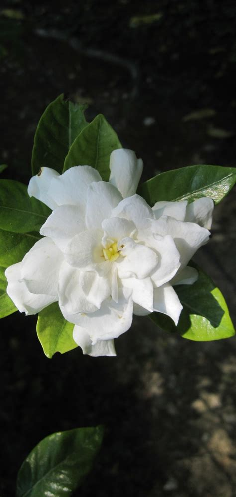high c gardenias 98 best gardenia s images on pinterest beautiful flowers