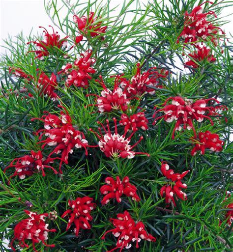 Wisteria Flower Tunnel by Grevillea Plants