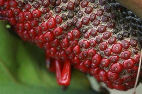Bibit Bunga Gelombang Cinta benih bunga teknik semai biji bunga gelombang cinta
