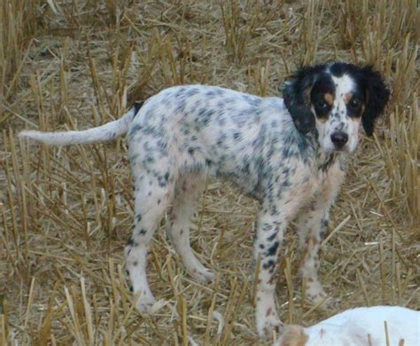 english setter working dog kc registered english setters working strain kings