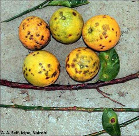 p fruits fact sheet pseudocercospora fruit and leaf spot citrus