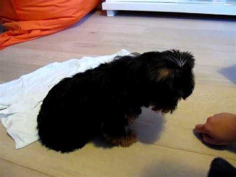 yorkie doing tricks bobo terrier puppy 3 months doing tricks 2