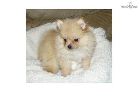 teacup pomeranian for sale in nj meet puffin a pomeranian puppy for sale for 1 000 akc delivery il in oh