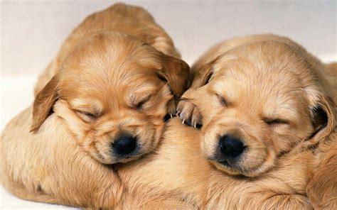 wallpapers for desktop cute puppies desktop images of little cute dogs wallpaper