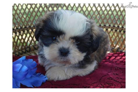brindle shih tzu puppies for sale tiny brindle shih tzu puppy for sale near springfield missouri 52f91a93 8db1