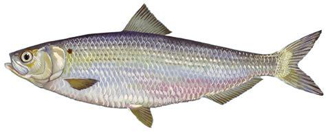Images Of Herring Fish