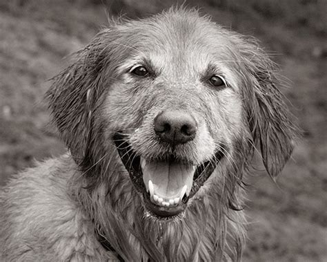 black and white golden retriever pictures 1000 images about black and white golden retrievers on