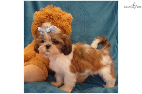 puppy hop meet hop sing a shih tzu puppy for sale for 325 hop sing