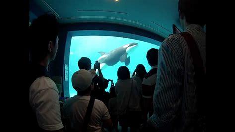 Hiasan Aquarium Orca Seal entering the aquarium orca whales spotted seals