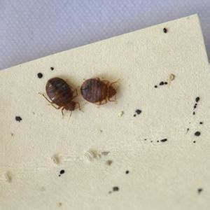 Baby Bed Bug Black