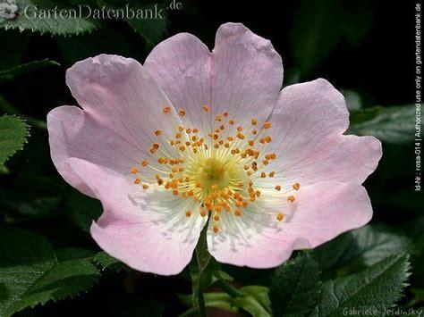 Garten Pflanzen Blaue Blüten by Heckenrose Clipart Clipground