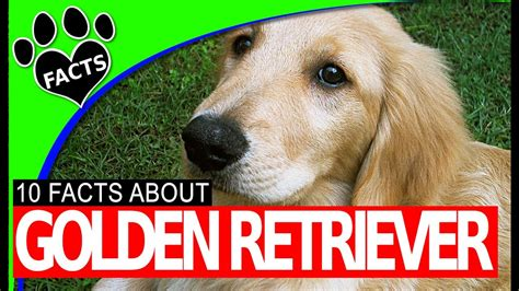 golden retriever dogs 101 10 golden retriever facts dogs 101 most popular breeds funnydog tv