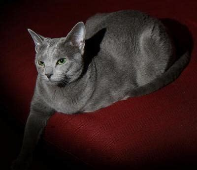 Blee Cat 2 russian blue cats russian blue cat breed info pictures