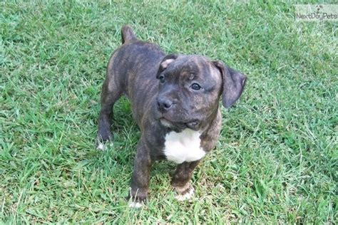 american staffordshire terrier puppies for sale near me american staffordshire terrier puppy for sale near atlanta 41be767d 6d41