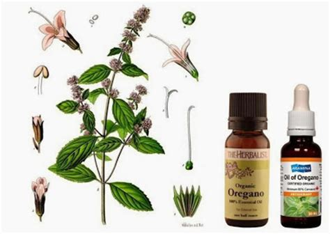 oregano for dogs dental care for dogs and cats herbal home remedies treatments ottawa