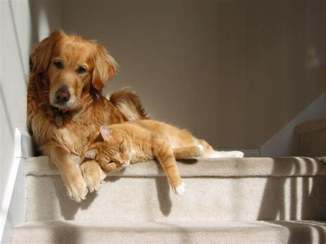 when should i spay my golden retriever lucky farms person or cat person