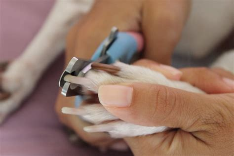 how to cut puppy nails nails