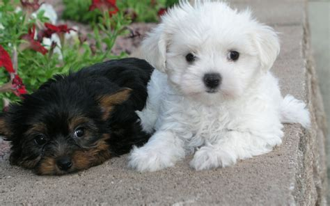 lil puppies puppies images sweethearts hd wallpaper and background photos 22410122