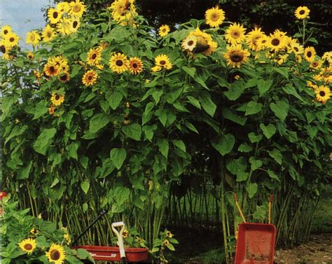 plant sunflower seeds midspring fertilize and water