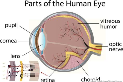 schematic section of the human eye the human eye is wired backwards and these scientists