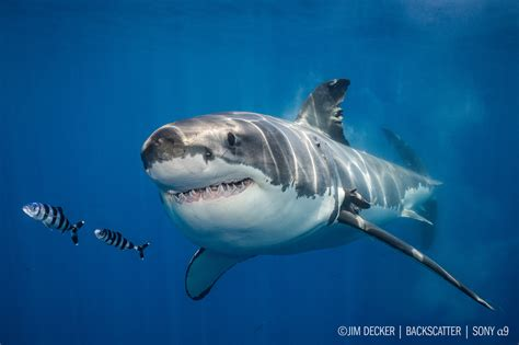 best underwater sony a9 underwater review shooting great white sharks