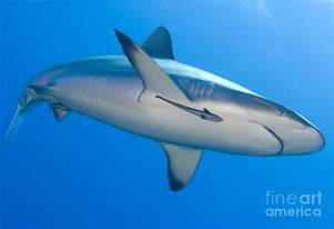 Gray And White Duvet Cover Gray Reef Shark With Remora Papua New Photograph By Steve