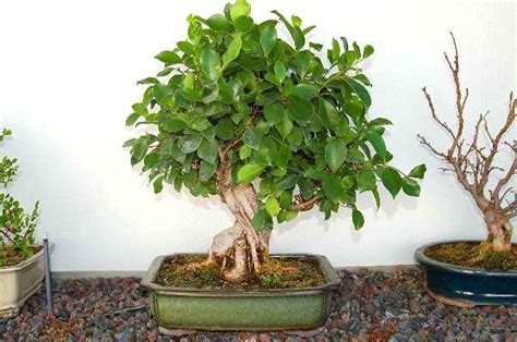 Instant Bonsai Just Remove Genes by Pin Hoja De Ficus Religiosa O Higuera Sagrada La Especie A