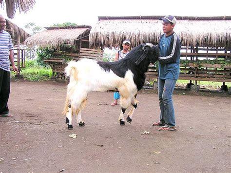 Bibit Kambing Peranakan Etawa kesuksesan bisnis kambing peranakan etawa
