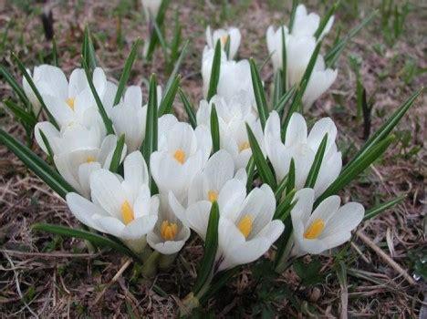fiore simbolo di speranza bucaneve galanthus nivalis crostata s