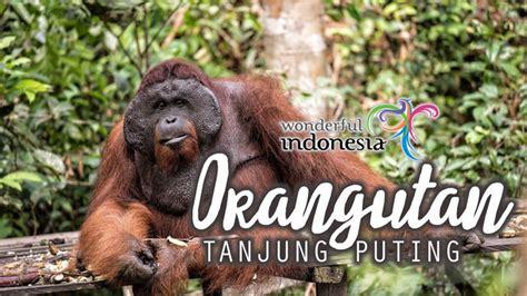 film species adalah berjumpa dengan orangutan di tanjung puting kalimantan