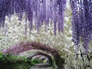 flower tunnel japan kawachi fuji gardens hungry hungarian
