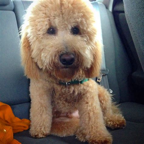 goldendoodle puppy with diarrhea goldendoodle you bet your pierogi