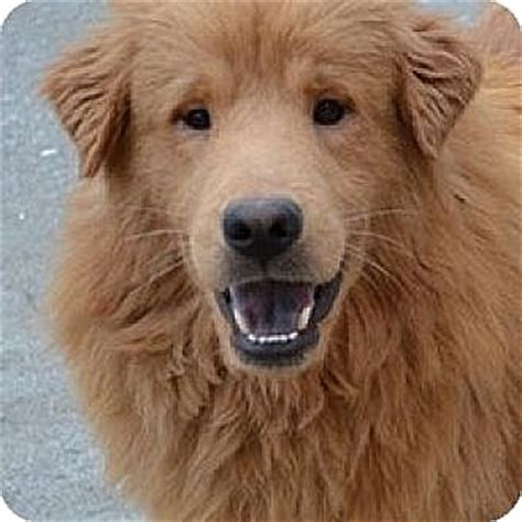 golden retriever rescue nyc rochester ny golden retriever mix meet wilson a for adoption