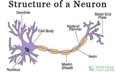 motor neuron definition neurons definition and function of neurotransmitters