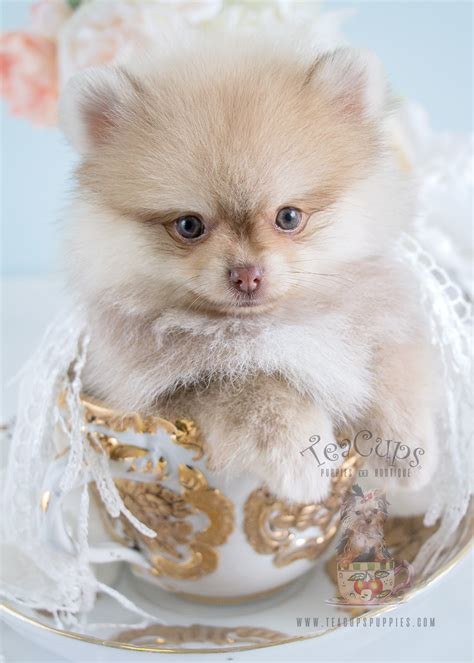 pomeranians for sale in idaho the cutest pomeranian puppies for sale teacups puppies boutique