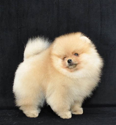 show me a picture of a pomeranian pomsprestige pomeranians kennel of pomeranian world
