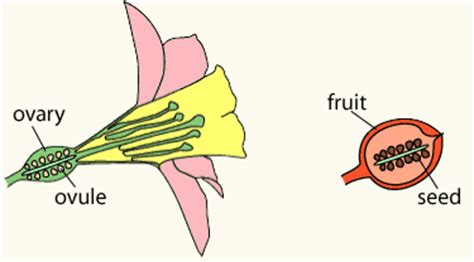 ovule diagram clm reference plants fruits and seeds