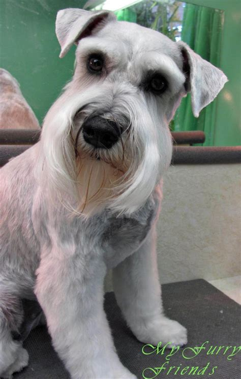 best 25 schnauzer cut ideas on pinterest schnauzer white miniature schnauzer grooming www imgkid com the
