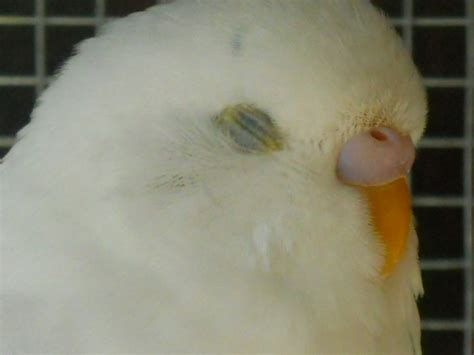 eye crust crust yellow budgerigars forum