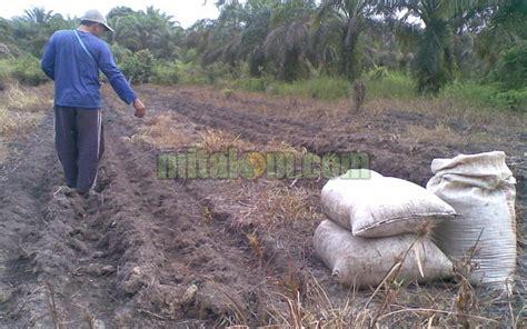 Pupuk Kompos Dan Pupuk Organik gambar penggunaan pupuk organik tricho kompos mitalom