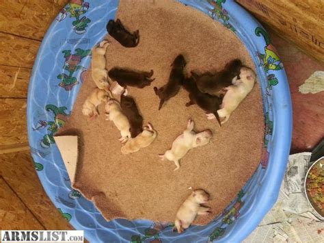 lab puppies for sale in charleston sc armslist for sale akc yellow and chocolate labrador puppies