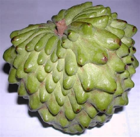 Jual Bibit Buah Srikaya Pineapple bibit benih atemoya pineapple jual tanaman hias