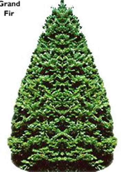 types and names of live christmas trees